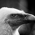 Griffon Vulture by Hakon Soreide