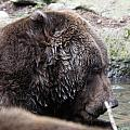 Grizzley - 0003 by S and S Photo