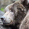 Grizzley - 0014 by S and S Photo