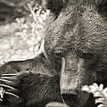 Grizzly At Rest by Steve McKinzie