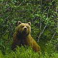 Grizzly Bear Alaska by Boyd Norton