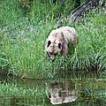 Grizzly Bear And Reflection On Prince Rupert Island Canada 2209 by Michael Bessler