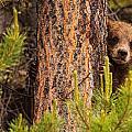 Grizzly Bear Cub Up A Tree, Yukon by Robert Postma