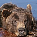 Grizzly Bear In Water by Mick Barratt