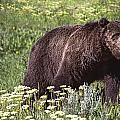 Grizzly Bear In Yellowstone Neg.28 by Randall Nyhof