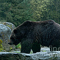 Grizzly Bear Or Brown Bear by Carol Ailles