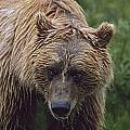 Grizzly Bear Ursus Arctos, Denali by David Ponton