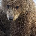 Grizzly Bear Ursus Arctos Horribilis by Ingo Arndt