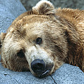Grizzly Bear Ursus Arctos Horribilis by San Diego Zoo