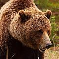 Grizzly Bear, Yukon by Robert Postma