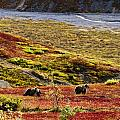 Grizzly Bears And Fall Colours, Denali by Yves Marcoux