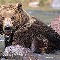 Grizzly Cavorts In Stream by Larry Allan