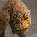 Grizzly Hanging Head by Betty LaRue