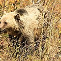 Grizzly In The Brush by Adam Jewell