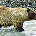 Grizzly Sow In Denali by Jim and Kim Shivers