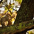 Grooming Grey Squirrel by  Onyonet  Photo Studios