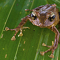 Ground Frog Nakanai Mts Papua New Guinea by Piotr Naskrecki