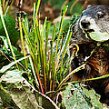 Ground Hog Lunch by Edward Peterson