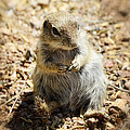 Ground Squirrel by Saija  Lehtonen