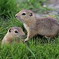 Ground Squirrels, Oak Hammock Marsh by Mike Grandmailson