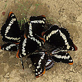 Group Of Butterflies by One Rude Dawg Orcutt