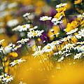 Group Of Daisies by Natural Selection Craig Tuttle