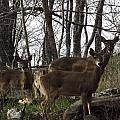 Group Of Deer by Shannon Bever
