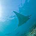 Group Of Manta Rays In Blue Water by Mathieu Meur