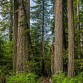 Group Of Redwoods by Greg Nyquist
