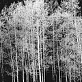 Grove Of Aspen Trees (populus Tremuloides), In Late Afternoon by David Epperson