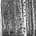 Grove Of Birch Trees by Randall Nyhof