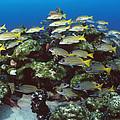 Grunt School Along Coral Reef Cocos by Flip Nicklin