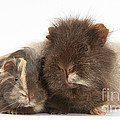 Guinea Pig And Baby by Mark Taylor