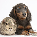 Guinea Pig And Blue-and-tan Dachshund by Mark Taylor