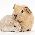 Guinea Pig And Hamster by Mark Taylor