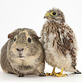 Guinea Pig And Kestrel Chick by Mark Taylor