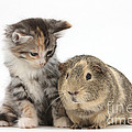 Guinea Pig And Maine Coon-cross Kitten by Mark Taylor