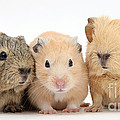 Guinea Pigs And Hamster by Mark Taylor