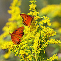 Gulf Fritilaries On Golden Rod by Barbara Bowen