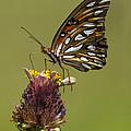 Gulf Fritillary Butterfly - Agraulis Vanillae by Kathy Clark