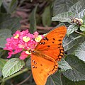 Gulf Fritillary Butterfly At Work by Warren Thompson