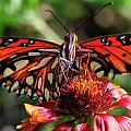Gulf Fritillary Butterfly by Bill Dodsworth