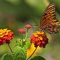 Gulf Fritillary Butterfly On Colorful Lantana  by Kathy Clark