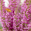 Gulf Fritillary Butterfly On Passionate Pink Flowers by Susan Gary