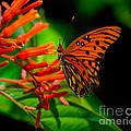 Gulf Fritillary Butterfly by Stephen Whalen