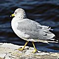 Gull 2 by Joe Faherty