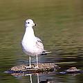 Gull - Don't Get Wet Feet by Travis Truelove
