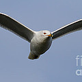 Gull In Flight . 7d12082 by Wingsdomain Art and Photography
