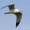 Gull In Flight . 7d12084 by Wingsdomain Art and Photography