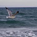 Gull In Flight by Roger Wedegis